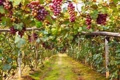 Gruppo di terminali dell'uva Immagini Stock Libere da Diritti