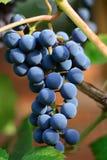 Gruppo di terminali dell'uva blu scuro Immagine Stock Libera da Diritti