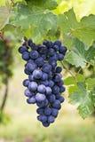 Gruppo di terminali dell'uva della vigna. Barbera Immagine Stock