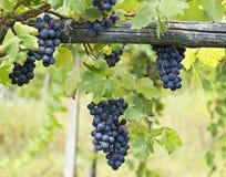 Gruppo di terminali dell'uva della vigna. Barbera Fotografie Stock