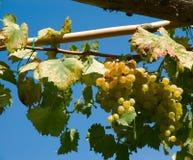 Gruppo di terminali dell'uva di Wineyard Fotografie Stock