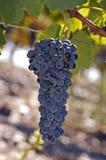 Gruppo di terminali dell'uva sulla vite Immagine Stock