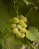 Gruppo di terminali sugoso maturo dell'uva Immagini Stock