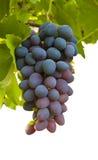 Gruppo di terminali sugoso maturo dell'uva Fotografia Stock