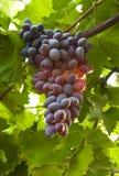 Gruppo di terminali sugoso maturo dell'uva Fotografia Stock Libera da Diritti