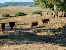 Gruppo di tori che attraversano una valletta nel prato immagini stock