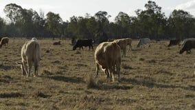 Gruppo di tori e di mucche video d archivio