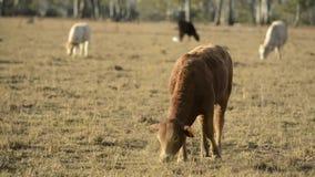 Gruppo di tori e di mucche archivi video