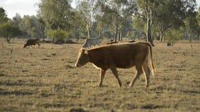 Gruppo di tori e di mucche stock footage