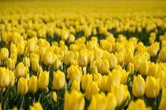 Gruppo di tulipani gialli nel campo Fotografie Stock Libere da Diritti