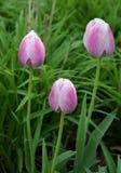Gruppo di tulipani nel parco fotografia stock libera da diritti