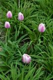 Gruppo di tulipani nel parco fotografia stock