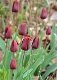 Gruppo di tulipani nel parco immagine stock