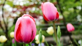 Gruppo di tulipani rosa nel parco Correzione di colore video d archivio