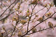 Gruppo di uccelli del passero che godono dei fiori di ciliegia Immagini Stock Libere da Diritti