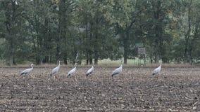Gruppo di uccelli della gru durante la migrazione di autunno sul riposo del campo di grano Tempo piovoso video d archivio