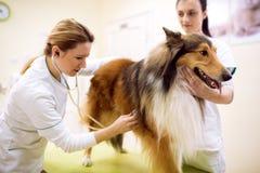 Gruppo di veterinario che fa l'esame del cane all'ambulanza dell'animale domestico immagini stock libere da diritti