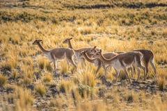 Gruppo di vigogna nelle Ande peruviane Immagini Stock