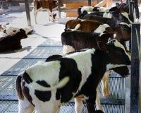 Gruppo di vitelli identici che stanno insieme nell'azienda agricola immagini stock