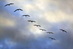 Gruppo di volo di gabbiani Fotografia Stock