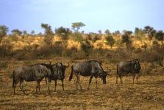 Gruppo di Wildebeest blu Fotografia Stock Libera da Diritti