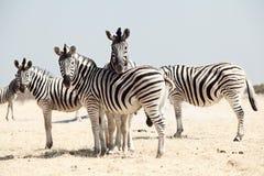 Gruppo di zebra Fotografie Stock Libere da Diritti