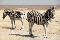 Gruppo di zebra Immagini Stock