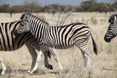 Gruppo di zebra Fotografia Stock