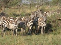 Gruppo di zebra Immagini Stock Libere da Diritti