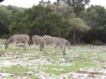 Gruppo di zebre fotografie stock libere da diritti