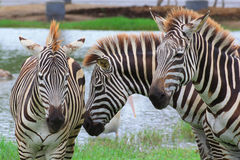 Gruppo di zebre Fotografie Stock
