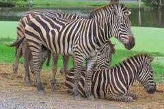 Gruppo di zebre Immagini Stock