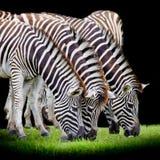 Gruppo di zebre Fotografia Stock Libera da Diritti