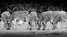 Gruppo di zebre Immagine Stock