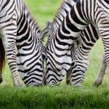 Gruppo di zebre Fotografia Stock