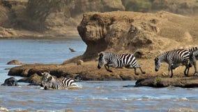 Gruppo di zebre che attraversano il fiume Mara Immagine Stock
