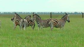 Gruppo di zebre che pascono nell'erba del deserto in primavera archivi video