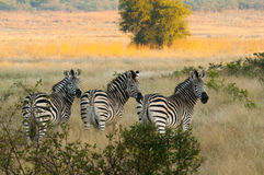 Gruppo di zebre di Burschell nella riserva di caccia di Matesti immagini stock libere da diritti