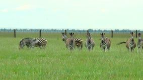 Gruppo di zebre nel deserto Zebra che esamina la macchina fotografica stock footage