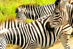 Gruppo di zebre nel Sudafrica fotografie stock libere da diritti