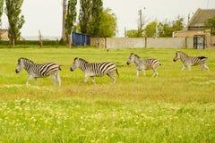 Gruppo di zebre su un campo verde immagini stock