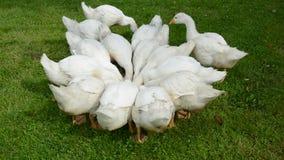 Gruppo domestico dei gooses nel giardino dell'azienda agricola video d archivio