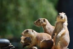 Gruppo fantastico di marmotte con coda nera insieme Fotografia Stock