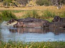 Gruppo o famiglia di ippopotami che fuggono nel fiume con acqua che spruzza e che spruzza, safari in Moremi NP, Botswana, Africa Fotografia Stock Libera da Diritti