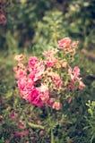 Gruppo rosa anziano Fotografie Stock Libere da Diritti