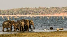 Gruppo selvaggio degli elefanti al polonnaruwa, Sri Lanka Fotografia Stock Libera da Diritti