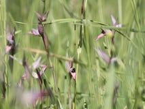 Gruppo selvaggio del lingua di serapias dell'orchidea Fotografie Stock Libere da Diritti
