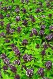 Gruppo tailandese verde del basilico in giardino Immagine Stock