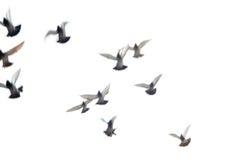 Gruppo volante della colomba Immagini Stock