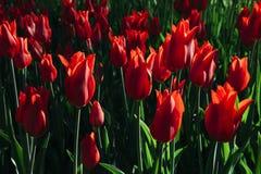 Grupptulpan blommar med kronblad för röd färg Royaltyfri Fotografi